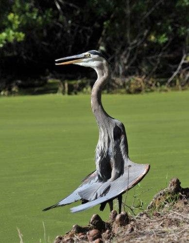 strange-heron
